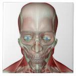 Musculoskeleton de la cabeza y del cuello 7 teja cerámica