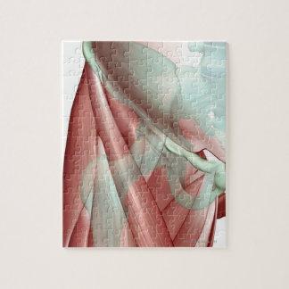 Musculoskeleton de la cadera 2 puzzle con fotos