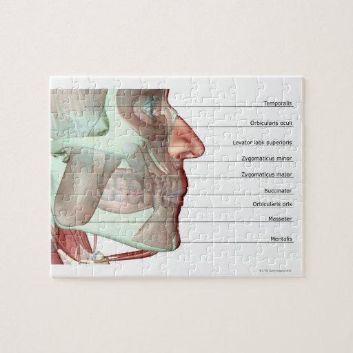 Musculoskeleton del mandíbula 2 puzzles