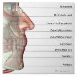 Musculoskeleton del mandíbula 2 teja  ceramica