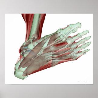 Musculoskeleton del pie 2 impresiones