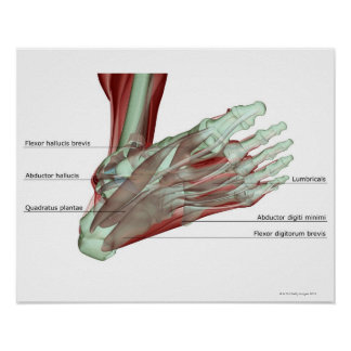 Musculoskeleton del pie poster