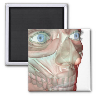 Musculoskeleton of the Face 2 Magnet