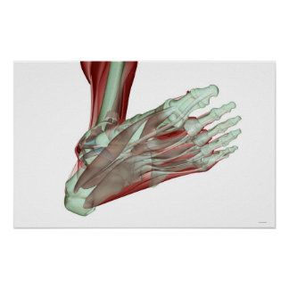 Musculoskeleton of the Foot Poster