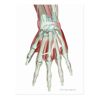 Musculoskeleton of the Hand 2 Postcard