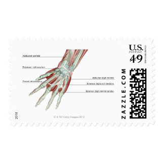 Musculoskeleton of the Hand Postage
