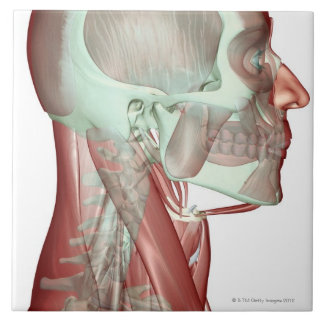 Musculoskeleton of the Head and Neck 2 Ceramic Tile