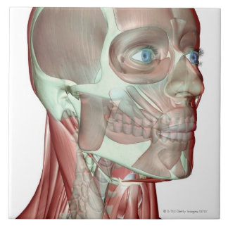 Musculoskeleton of the Head and Neck 5 Ceramic Tile