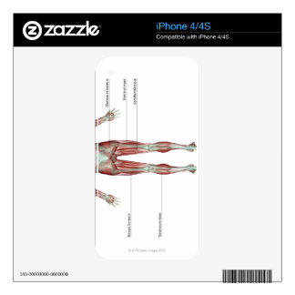 Musculoskeleton of the Lower Body Skin For The iPhone 4S