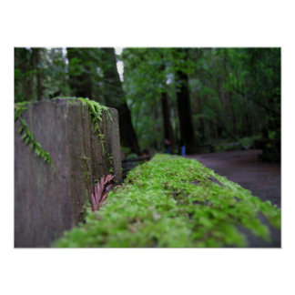 Musgo de maderas de Muir Posters