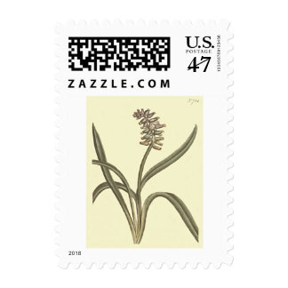 Musk Grape Hyacinth Botanical Illustration Postage