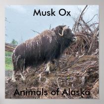 Musk ox-Animals of Alaska Poster