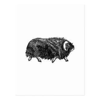 Musk Ox (illustration) Postcard