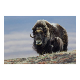 Musk Ox with Calf Poster