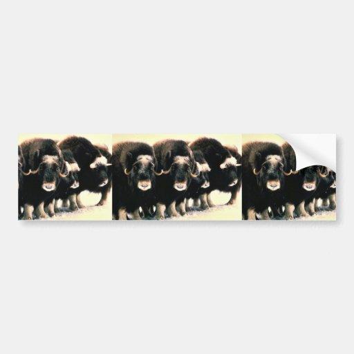 Musk Oxen Car Bumper Sticker