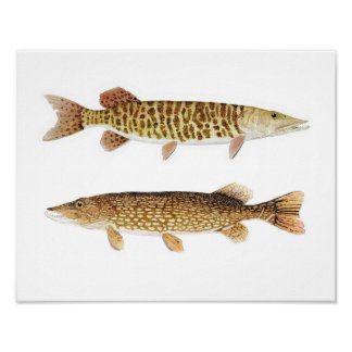 Muskie & Pike Art Poster