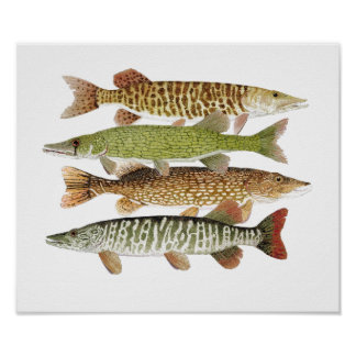 Muskie,Pike, Tiger & Pickerel II Poster