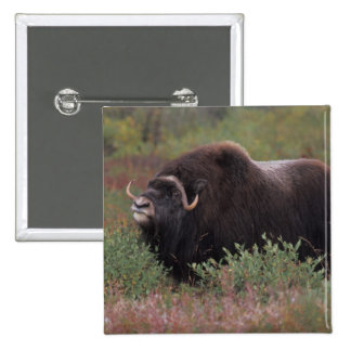muskox bull scents the air in fall tundra, North Button
