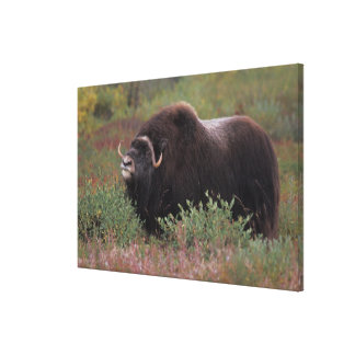muskox bull scents the air in fall tundra, North Canvas Print