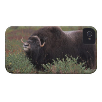 muskox bull scents the air in fall tundra, North iPhone 4 Case-Mate Cases