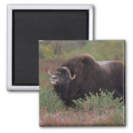 muskox bull scents the air in fall tundra, North Magnet
