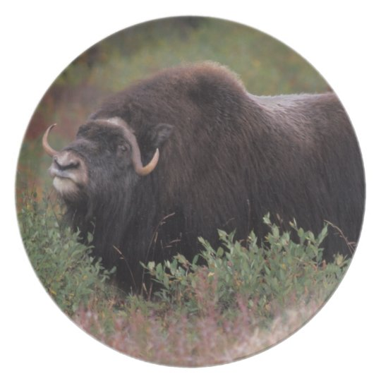 muskox bull scents the air in fall tundra, North Plate