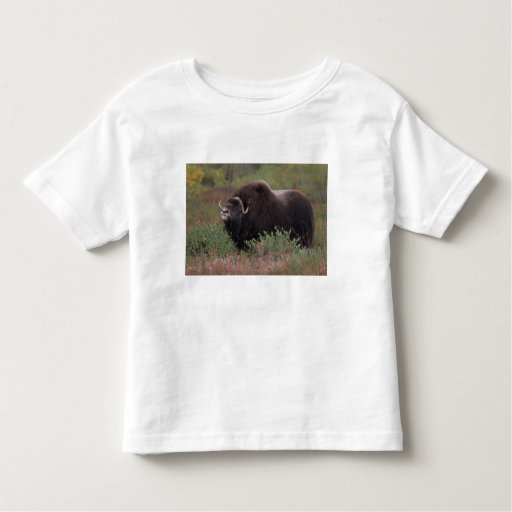 muskox bull scents the air in fall tundra, North Shirt