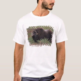 muskox bull scents the air in fall tundra, North T-Shirt