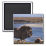 Muskox, cow along a river on coastal plain of magnet
