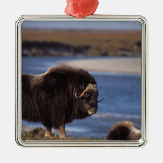 Muskox, cow along a river on coastal plain of square metal christmas ornament