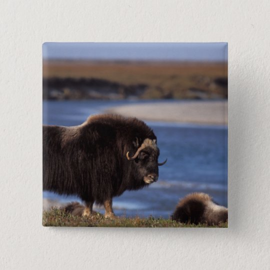 Muskox, cow along a river on coastal plain of pinback button