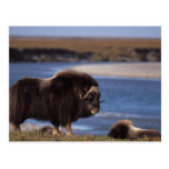 Muskox, cow along a river on coastal plain of post cards