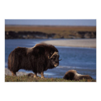 Muskox, cow along a river on coastal plain of poster