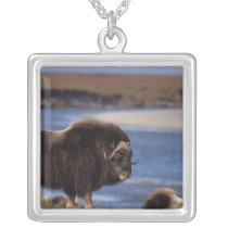 Muskox, cow along a river on coastal plain of silver plated necklace