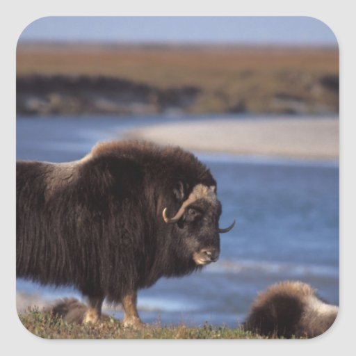 Muskox, cow along a river on coastal plain of stickers