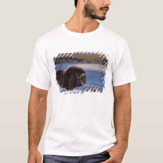 Muskox, cow along a river on coastal plain of T-Shirt