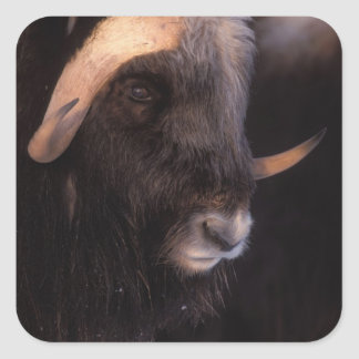 muskox, moschatus del Ovibos, toro en la central Calcomanías Cuadradass Personalizadas