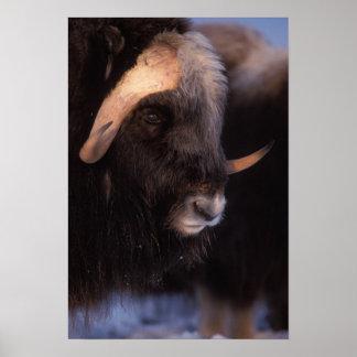 muskox, moschatus del Ovibos, toro en la central Póster