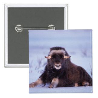 muskox, moschatus del Ovibos, toro joven en Pin Cuadrada 5 Cm
