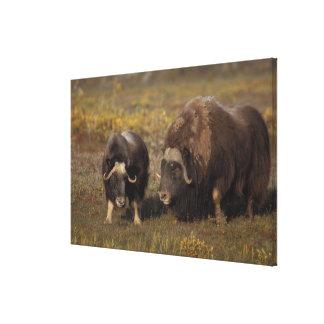 muskox, moschatus del Ovibos, toro y vaca en Impresiones En Lona Estiradas