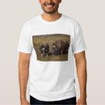 muskox, moschatus del Ovibos, toro y vaca en Playeras