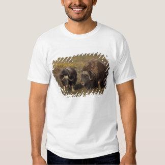 muskox, moschatus del Ovibos, toro y vaca en Polera