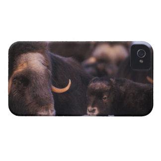 muskox, moschatus del Ovibos, vaca con recién naci iPhone 4 Case-Mate Carcasas