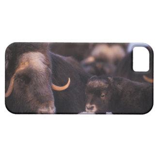 muskox, moschatus del Ovibos, vaca con recién naci iPhone 5 Carcasa