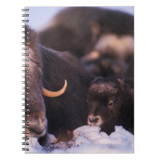 muskox, moschatus del Ovibos, vaca con recién naci Libreta Espiral