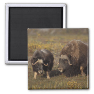 muskox, Ovibos moschatus, bull and cow on the 2 Inch Square Magnet