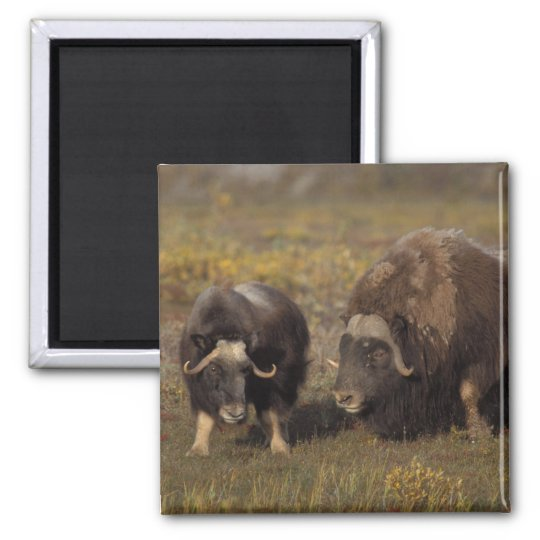 muskox, Ovibos moschatus, bull and cow on the Magnet