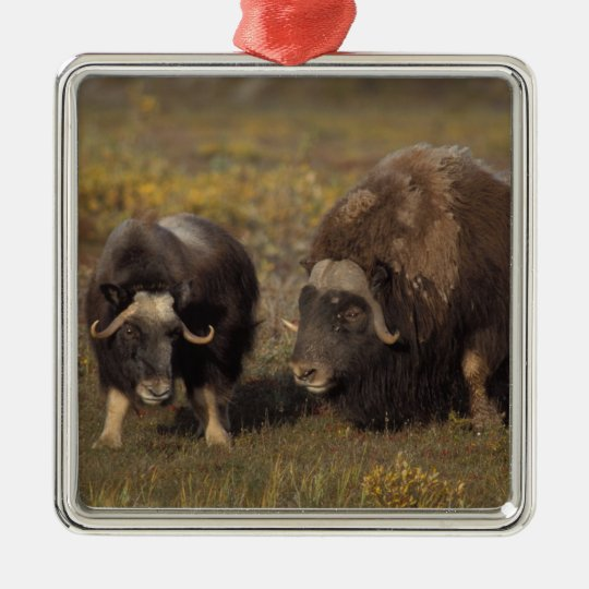 muskox, Ovibos moschatus, bull and cow on the Metal Ornament