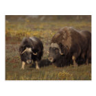 muskox, Ovibos moschatus, bull and cow on the Postcard