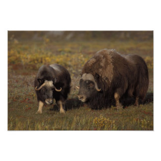 muskox, Ovibos moschatus, bull and cow on the Poster